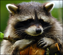raccoon removal Grapevine